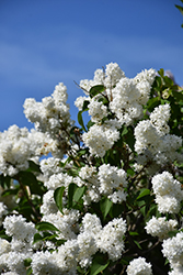 Angel White Lilac (Syringa vulgaris 'Angel White') at TLC Garden Centers