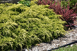 Gold Lace Juniper (Juniperus x media 'Gold Lace') at TLC Garden Centers