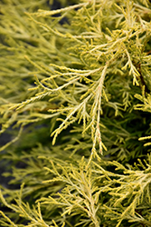 Golden Charm Falsecypress (Chamaecyparis pisifera 'Golden Charm') at TLC Garden Centers