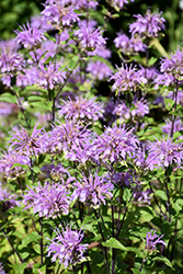 Blue Stocking Beebalm (Monarda didyma 'Blue Stocking') at TLC Garden Centers