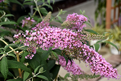 Pink Delight Butterfly Bush (Buddleia davidii 'Pink Delight') at TLC Garden Centers