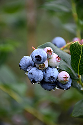 Chippewa Blueberry (Vaccinium 'Chippewa') at TLC Garden Centers