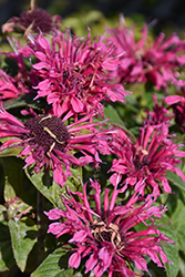Cranberry Lace Beebalm (Monarda 'Cranberry Lace') at TLC Garden Centers