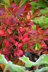 Jelly Bean® Blueberry (Vaccinium 'ZF06-179') at TLC Garden Centers