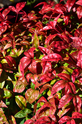 Fire Power Nandina (Nandina domestica 'Fire Power') at TLC Garden Centers