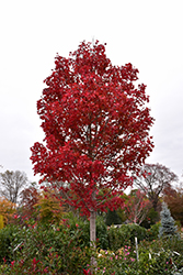 October Glory Red Maple (Acer rubrum 'October Glory') at TLC Garden Centers