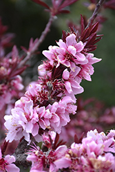 Bonfire Dwarf Ornamental Peach (Prunus persica 'Bonfire') at TLC Garden Centers