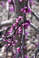 Ruby Falls Redbud (Cercis canadensis 'Ruby Falls') at TLC Garden Centers