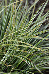 EverColor® Everest Japanese Sedge (Carex oshimensis 'Carfit01') at TLC Garden Centers