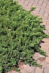 Blue Pacific Shore Juniper (Juniperus conferta 'Blue Pacific') at TLC Garden Centers
