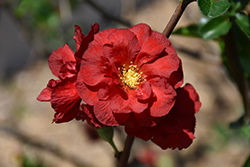 Double Take Scarlet™ Flowering Quince (Chaenomeles speciosa 'Double Take Scarlet Storm') at TLC Garden Centers