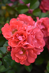 Coral Drift® Rose (Rosa 'Meidrifora') at TLC Garden Centers