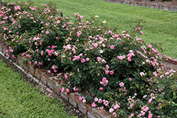 Sweet Drift® Rose (Rosa 'Meiswetdom') at TLC Garden Centers