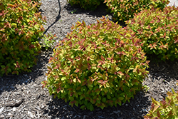 Double Play Big Bang® Spirea (Spiraea 'Tracy') at TLC Garden Centers