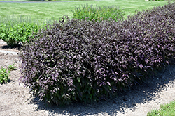 Serious Black™ Ground Clematis (Clematis recta 'Lime Close') at TLC Garden Centers