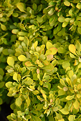 Tiny Gold Barberry (Berberis thunbergii 'Tiny Gold') at TLC Garden Centers