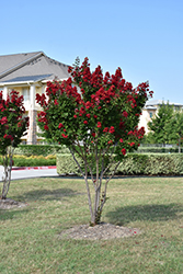 Dynamite® Crapemyrtle (Lagerstroemia indica 'Whit II') at TLC Garden Centers